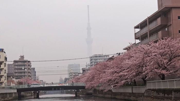 0スカイツリーと桜700