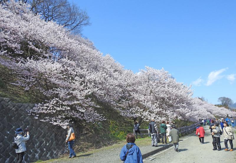 0桜52500