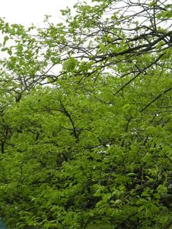 禅寺丸の新緑210424
