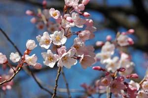 江戸彼岸桜300