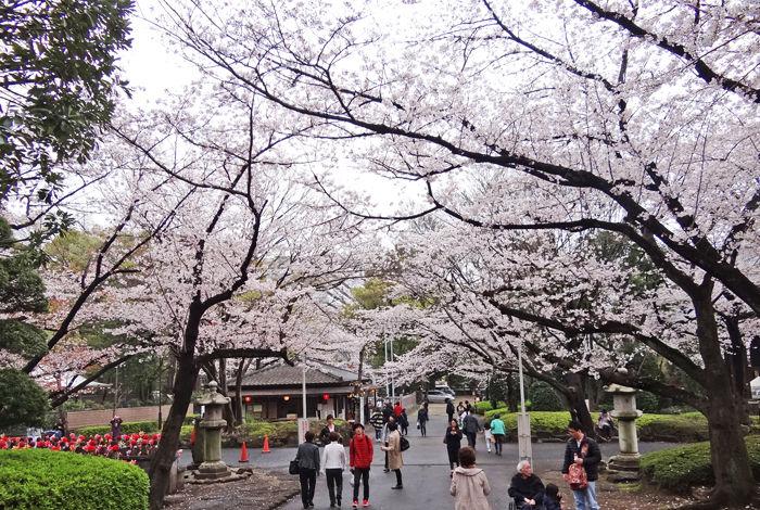 0増上寺境内の桜700