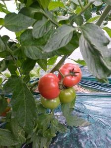 20140115_tomato