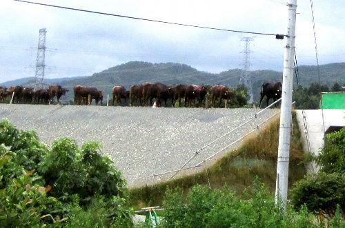 高速道路の牛