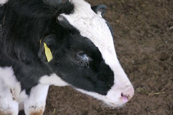 牛の目にも涙