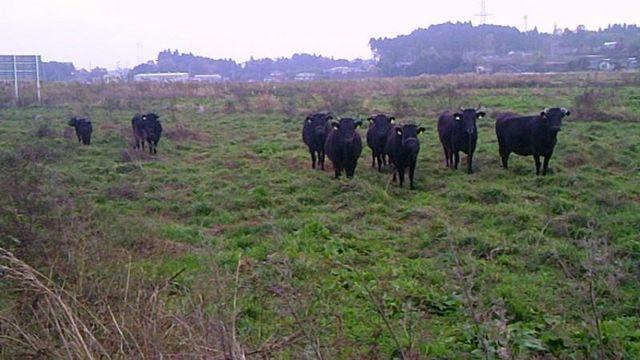 殺処分場へおびき寄せられる牛たち