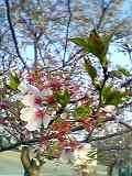桜から緑へ
