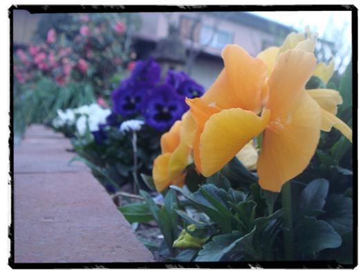 夕日のあたらない花