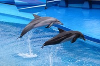 depositphotos_46962183-stock-photo-dolphins-jumping-out-of-water
