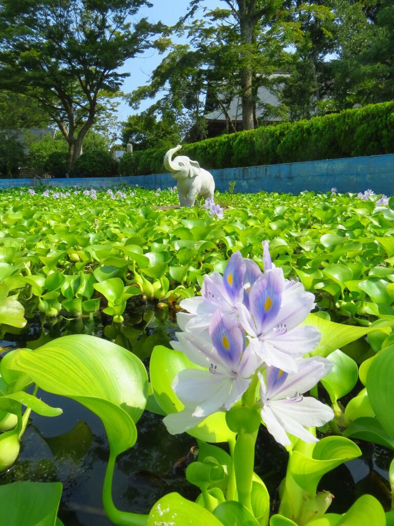 tomohiro4576のblog  吉ゾウくんの長福寿寺さん開運の道にある運だめしの池の花が素晴らしいコメントトラックバック