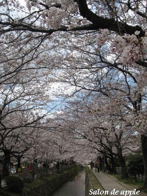 橋から見た桜のトンネル!