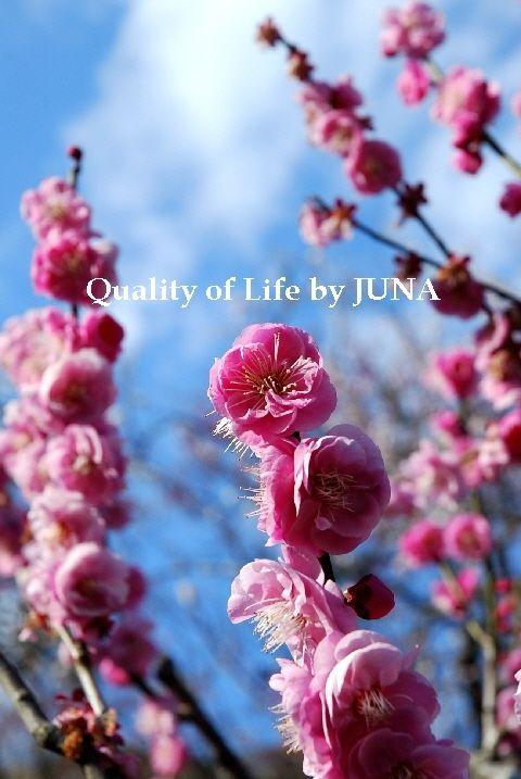 JUNAっちギャラリー♪ 梅の花編