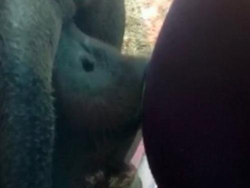 妊婦のお腹にキスする愛らしいオランウータン