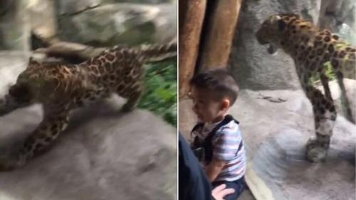 幼児を攻撃、ガラスに阻止されるヒョウ