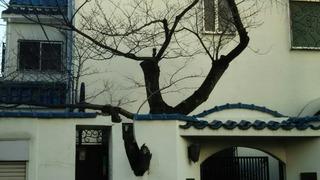塀を突き破って剪定された大木