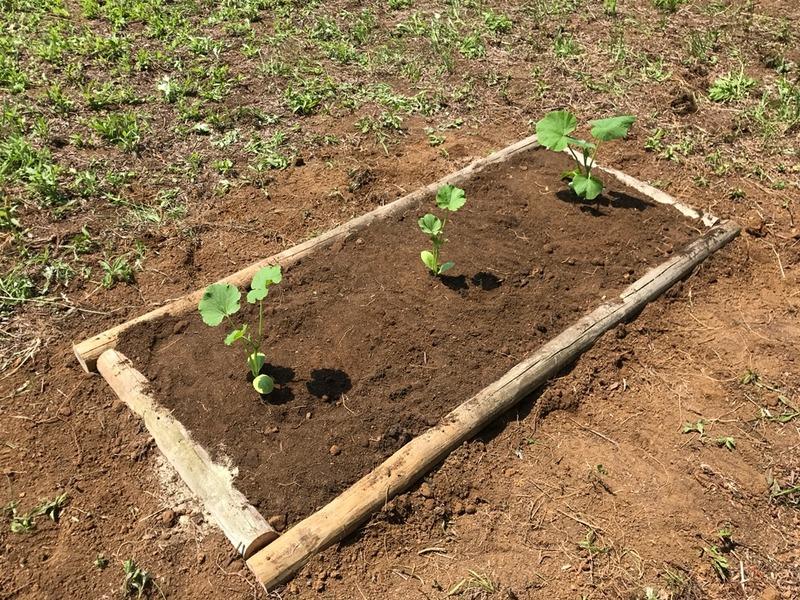 カボチャを植える