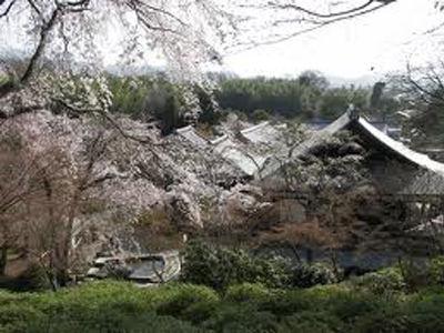 天龍寺 桜