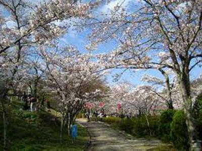 摂津峡桜本番