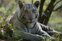 ホワイトタイガーに襲われ40歳職員心肺停止 鹿児島市の動物公園