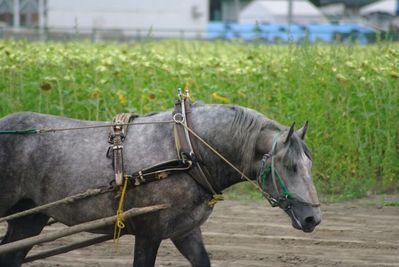 ばん馬とひまわり畑
