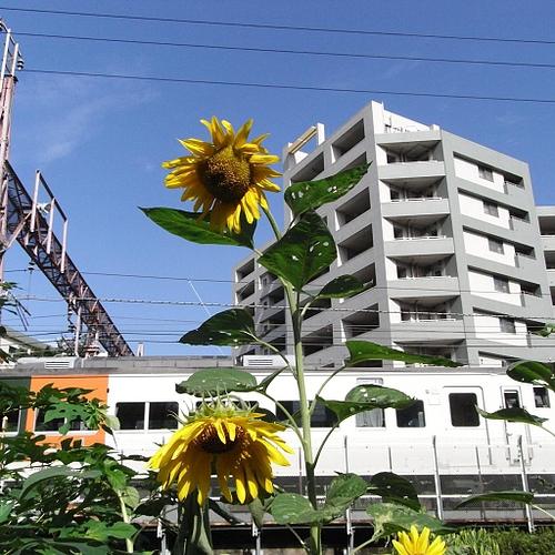 ひまわりと東海道線