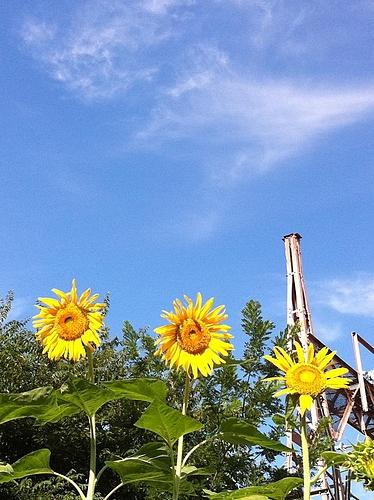 今日はいい天気。空が青いなー。向日葵もお日様に顔向けてる。