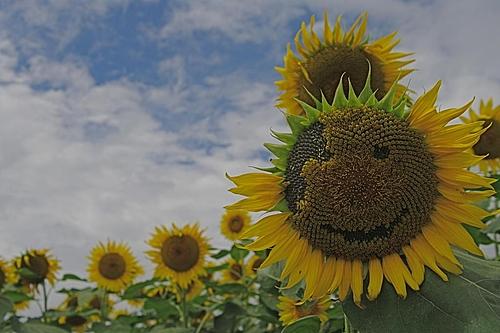 20090807韮崎の向日葵