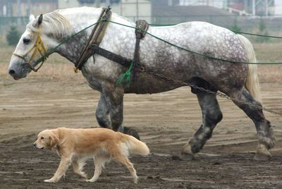 ばん馬と犬06