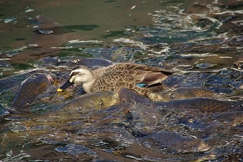 洗足池公園の鯉