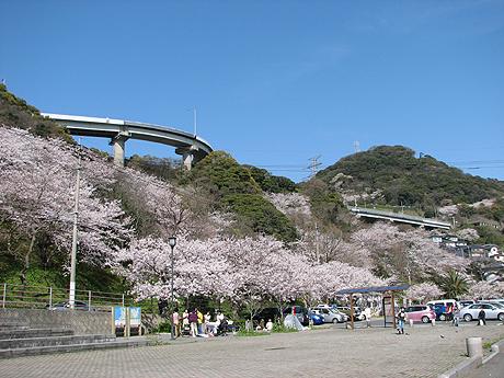 2010和布刈の桜