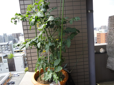 ミニトマト520-1