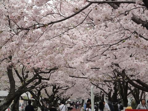 山王公園桜