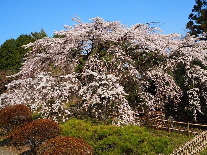 180326龍田さんの桜巡り_180329_0046