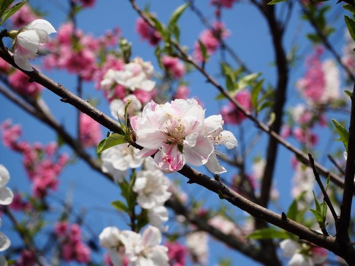 180326龍田さんの桜巡り_180329_0028