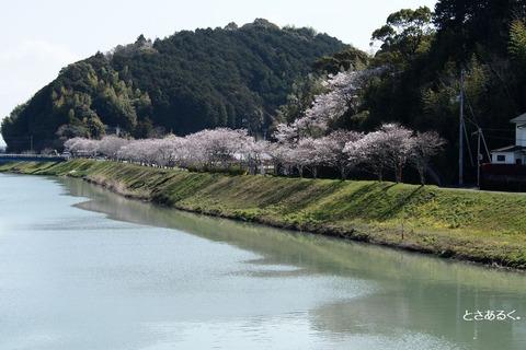 波介川2014桜