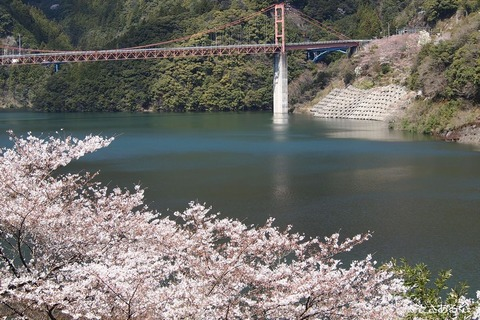仁淀ブルーと桜スポット