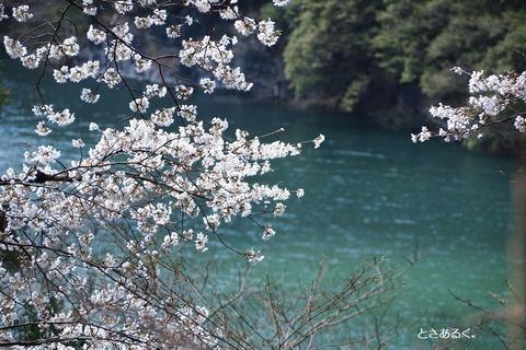 仁淀ブルーと桜