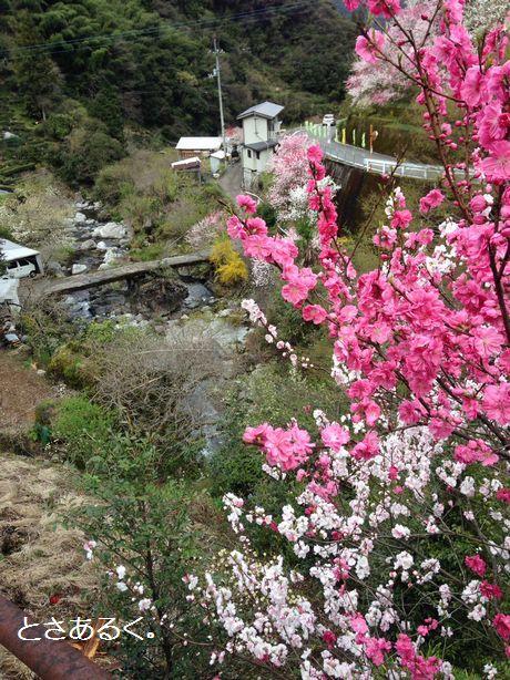小さな橋と花桃