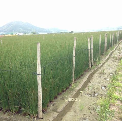 波介地区い草