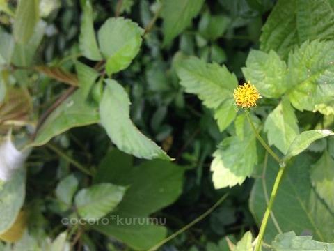 黄色の雑草2