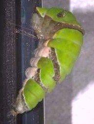 アゲハ前蛹