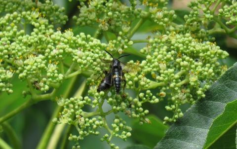 キオビツチバチ (3)