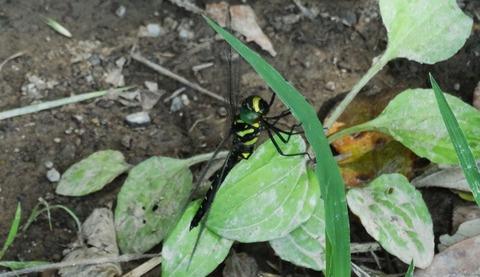 更紗蜻蜓 (2)