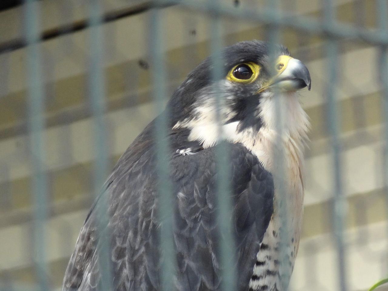 能ある鷹は爪を隠す(のうあるたかはつめをかく …