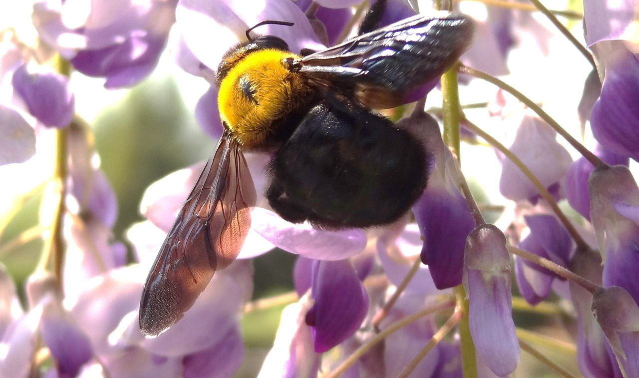 クマバチの画像 p1_17