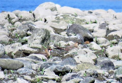 物部川のツバメチドリ