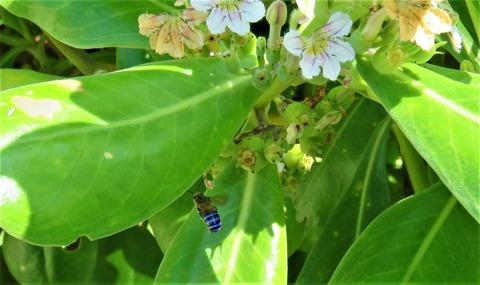 ミナミアオスジハナバチ (2)