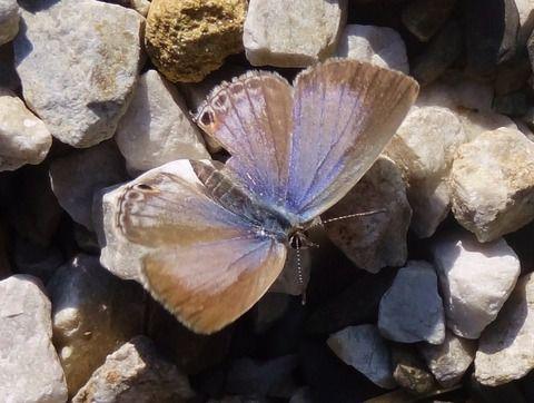 クロマダラソテツシジミ (2)