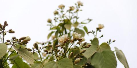 シナアブラギリ・円錐花序