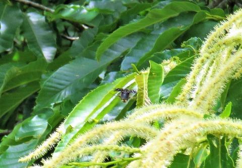 黒色型ジュウシチホシハナムグリ