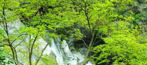 轟の滝・モミジ新緑